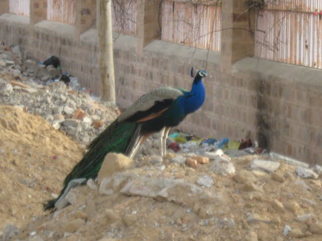 Peacock near Do Jati Temple